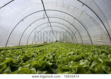 Greenhouse with fresh salad