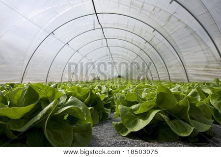 Salad in a Greenhouse