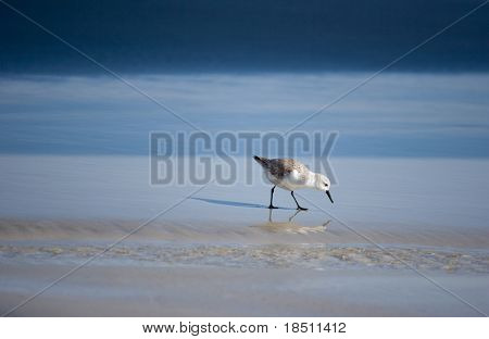 A shore bird on the beach looking for food