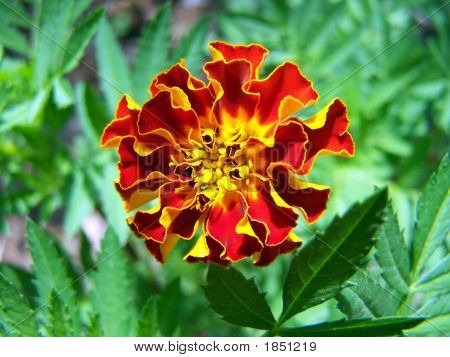 Marigold Details