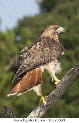 red tailed hawk perched on branch