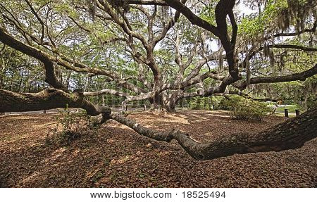 immense spreading live oak in south carolina, hdr image