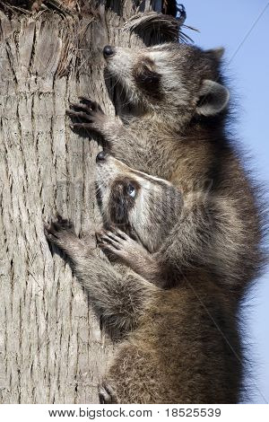 two baby raccoons climbing tree, one sitting on the other