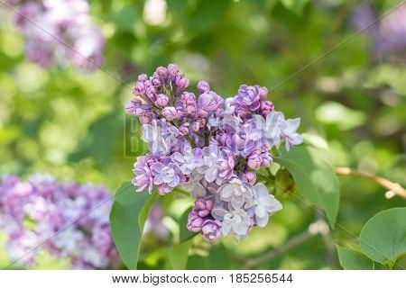 Beautiful Blooming Purple Lilac Branch
