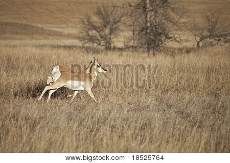 pronghorn antelope on plains of south dakota usa