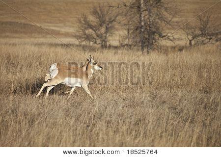 pronghorn antelope on plains of south dakota usa