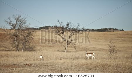 american pronghorn antelope in south dakota