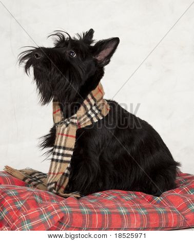 scottish terrier looking up at master
