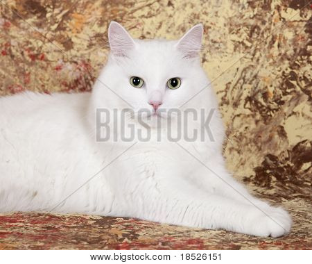 white persian cat, studio shot