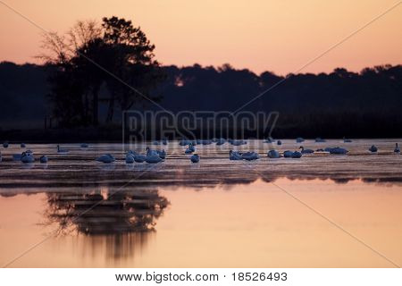 tundra swans in water at twilight
