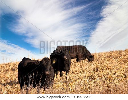 black angus cattle in south dakota