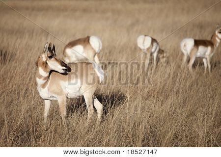 american pronghorn antelope in south dakota