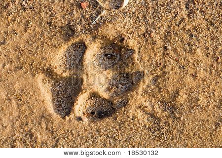 Footstep of a large dog in beach sand.