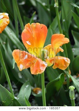 Tulip Past Prime