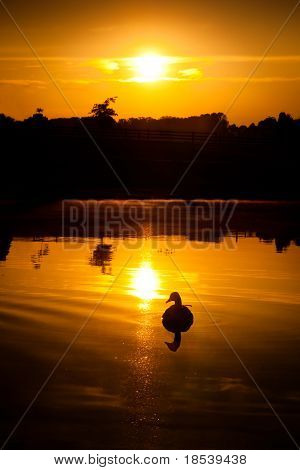 Canadian goose on pond at sunrise.