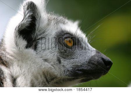 Madagascar Lemur Profile