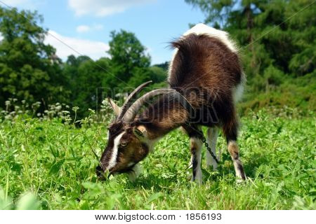 Billy Goat Grazing
