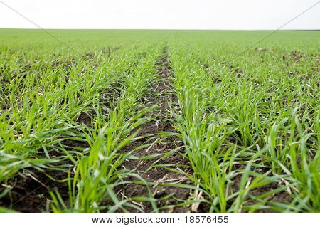rows of little winter crop closeup