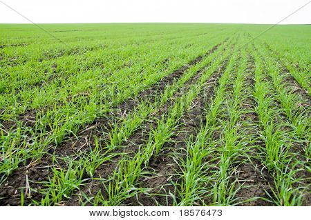 rows of little winter crop