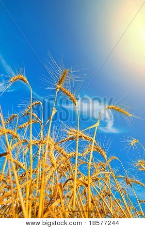 Golden wheat ears with blue sky and sun over them