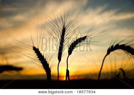 ripe wheat at sunset. south Ukraine