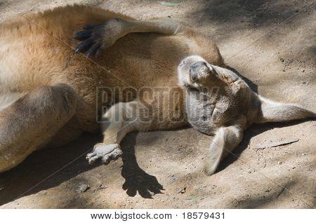 Funny Kangaroo Sunbathing
