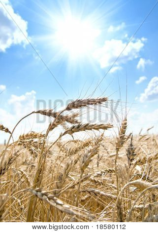 Golden wheat ears with sun over them. south Ukraine
