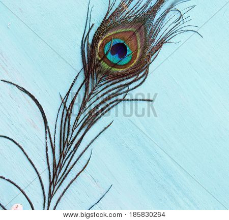 A Peacock feather on a wooden blue background with copy space