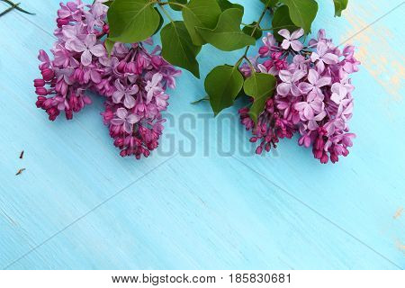 Bunches of pink fragrant Lilacs on a wooden blue background with copy space.