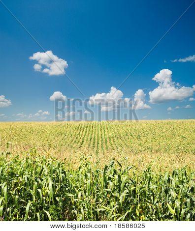 Feld mit Mais unter blauen Himmel und Wolken