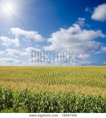 green maize field under blue sky with sun