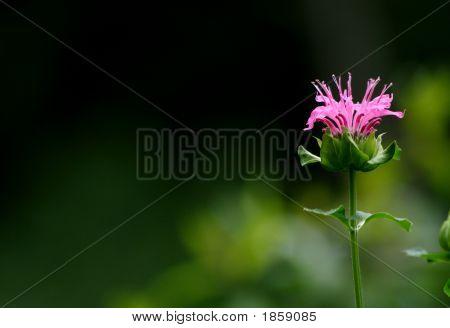Rosa de bergamota
