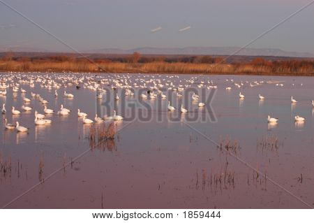 Snow Goose Roost