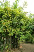 stock photo of bamboo forest  - Bamboo - JPG