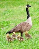 pic of mother goose  - Mother goose and her goslings shortly after hatching during spring - JPG