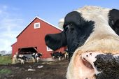 picture of pushy  - A Holstein Friesian bull on a dairy farm in North America - JPG
