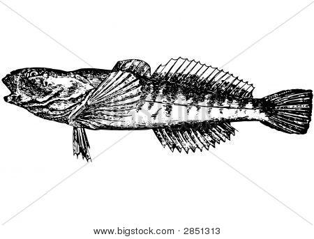 Fish Gobius. Gottus Gobio (Latin). Illustration. Bichok_Podkamenhik.
