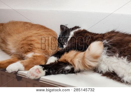 poster of Two Cats, Red And Black And White, Are Lying Peacefully On A Warm Radiator, Huddling Together. The C