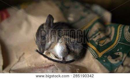 Dead Mouse Lies On A