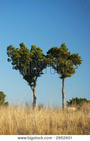 Cedar Twins