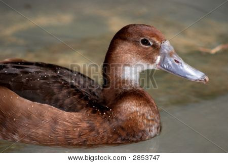 Swimming Brown Duck