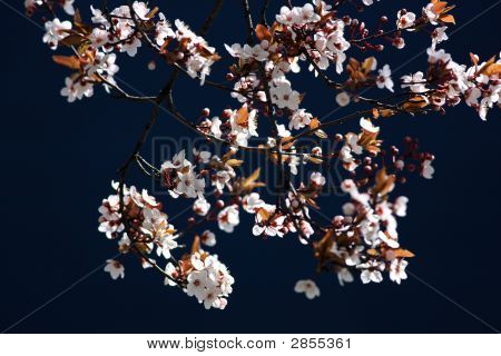 Cherry Tree Branch In Bloom