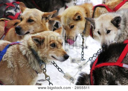 Sled-Dog Team Awaiting Orders