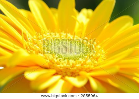 Yellow Gerbera Close-Up