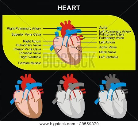 Human Heart Section Parts (Aorta, Right & Left Atrium & Ventricle, Pulmonary Artery, Tricuspid Aortic Mitral Valves, Cardiac Muscle, Superior & Inferior Vena Cava) Medical & Educational Use