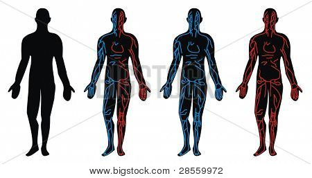 Circulation System - Vein, Artery circulatory drawn in anatomical position of the human body