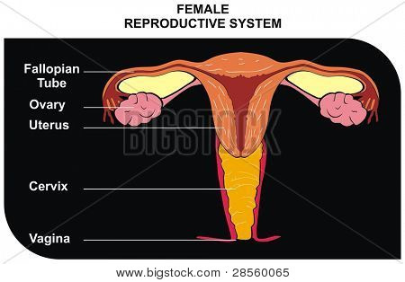 VECTOR - Female Reproductive System - including ( fallopian tube, ovary, uterus, cervix, vagina ) - Useful for Education in Schools and Clinics