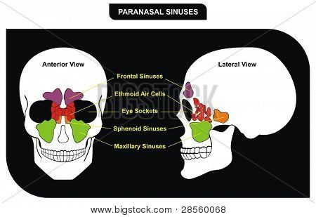 VECTOR - Paranasal Sinuses - parts included ( Frontal, Sphenoid, Maxillary Sinus, Ethmoid Air Cells and Eye Sockets ) - Anterior & Lateral View - Helpful for Medical Education & Clinics