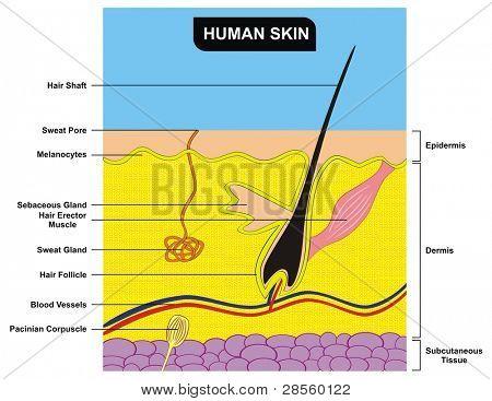 VECTOR - Human Skin Cross-Section