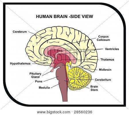 VECTOR - Human Brain Diagram - Side View with Parts ( Cerebrum, Hypothalamus, Thalamus, Pituitary Gland, Pons, Medulla, Brain Stem, Cerebellum, Midbrain ...) - For Medical & Educational Use